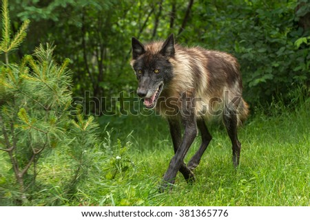 Black Phase Grey Wolf (Canis lupus) Trots Forward - captive animal