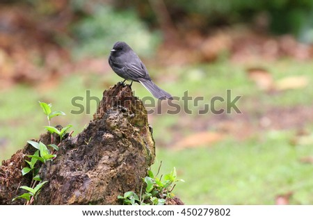 Black Phoebe bird perched on a tree stump with a green background - stock photo