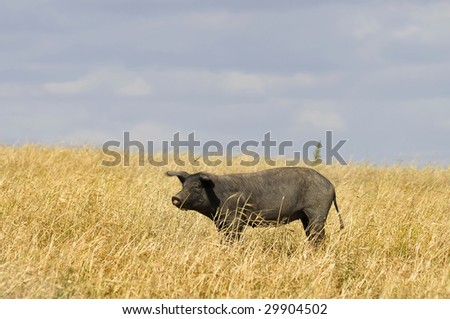 Black pigs in a field with cloudy skies - stock photo