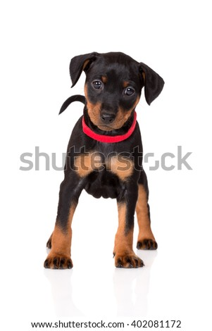 black pinscher puppy standing on white