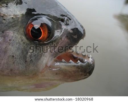 Black piranha, Serrasalmus rhombeus (Redeye Piranha, and see below), is a fish of the piranha family Characidae found in South America in the Amazon and Orinoco river basin - stock photo