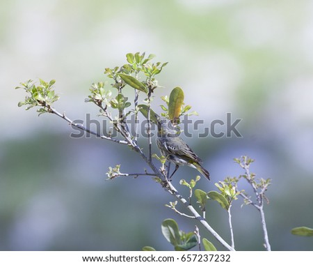 stock-photo-black-poll-warbler-bird-in-a-natural-landscape-non-breeding-plumage-657237232.jpg