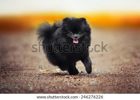 Black Pomeranian Spitz puppy running at the camera - stock photo