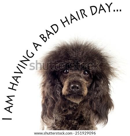 Black Poodle - stock photo