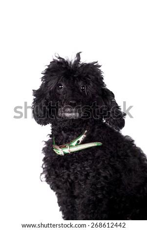 Black poodle dog isolated on white background - stock photo