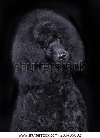 black poodle, portrait - stock photo