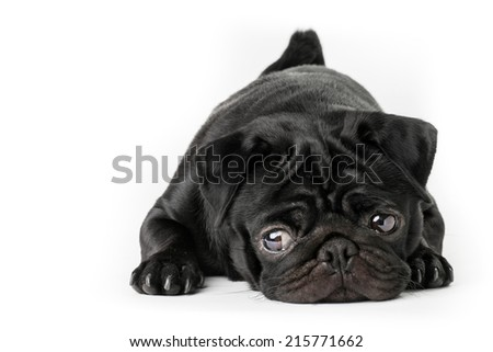 Black pug dog isolated on a white background - stock photo