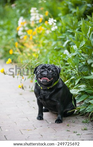 Black pug dog sits and smiles in the garden - stock photo