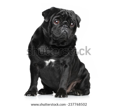 Black Pug posing on white background