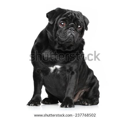 Black Pug posing on white background - stock photo