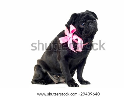 Black Pug with pink bow on neck