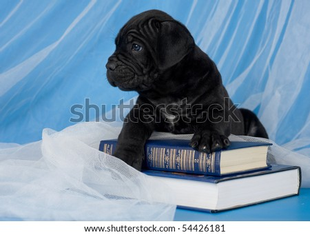 black puppy lying on two blue books - stock photo