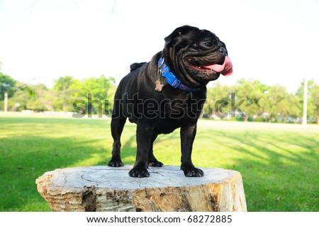 black puppy pug dog in garden - stock photo