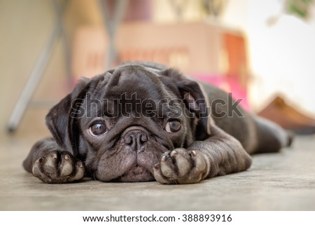 Black puppy pug dog lying on concrete floor.