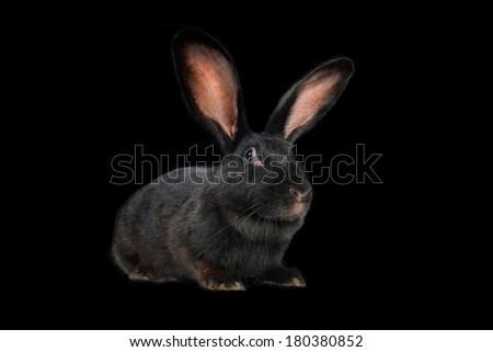 black rabbit on a black background - stock photo