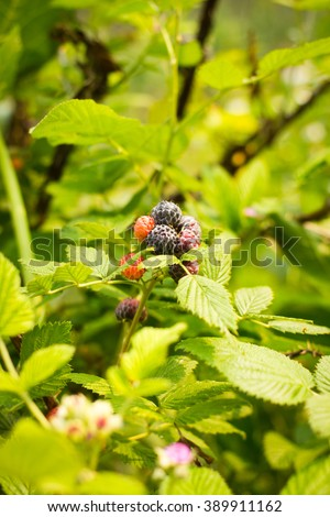 Black raspberry and flower bunch of berries ripening on sunny day - stock photo