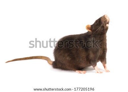 black rat  isolated on the white background  - stock photo