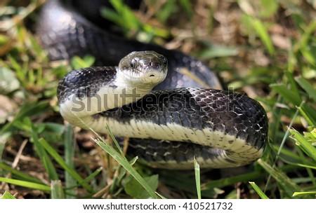 Black Rat Snake - stock photo