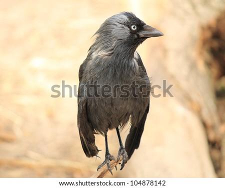 Black raven close-up - stock photo