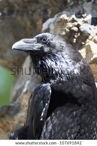 Black raven from the Tower of London, UK