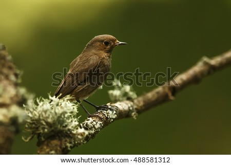 black redstart sitting on the old branch with moose