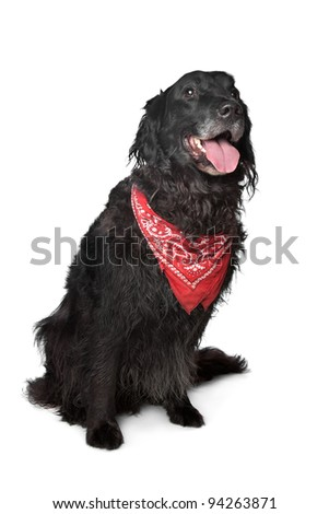 black retriever dog in front of a white background