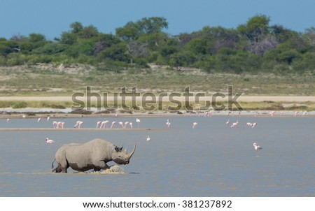 Black Rhino crossing Fisher's Pan with flamingos in the background in Etosha National Park in Namibia