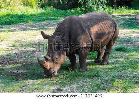 Black Rhino eating from the ground