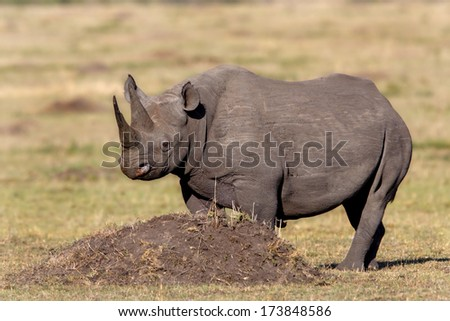 Black Rhino female in Masai Mara, Kenya - stock photo