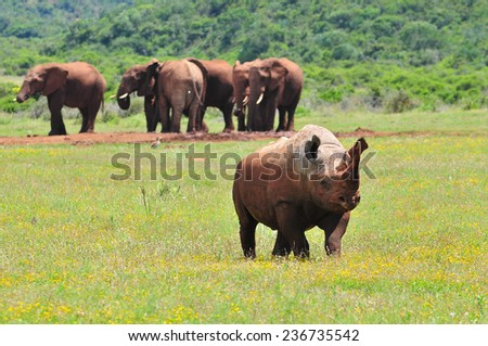 Black Rhino in front of Elephant at watering hole   - stock photo