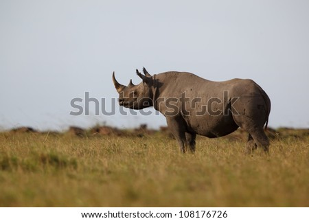 Black Rhino in Masai Mara, Kenya - stock photo