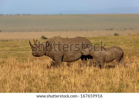 Black Rhino Mother and baby in the savannah of Masai Mara, Kenya - stock photo