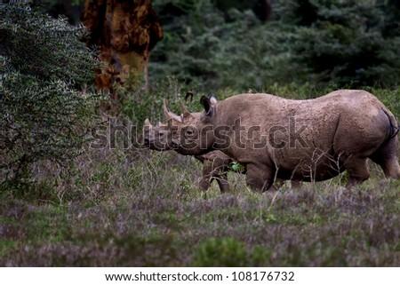 Black Rhino mother and baby, Lake Nakuru, Kenya - stock photo