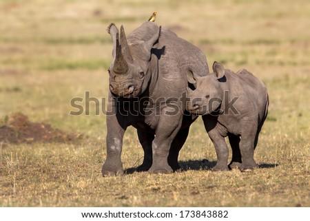 Black Rhino mother with calf in Masai Mara, Kenya - stock photo