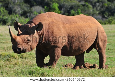 Black Rhino walking - stock photo