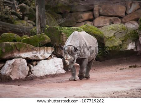 Black rhinoceros: animal life in Africa. diceros bicornis - stock photo