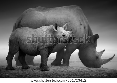 Black Rhinoceros calf (Diceros bicornis) standing with cow  at a waterhole - Etosha National Park (Digitally enhanced) - stock photo