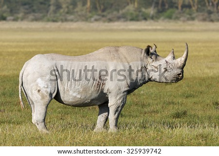 Black Rhinoceros, Diceros bicornis standing in the middle of the savannah, after a fight. - stock photo