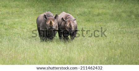 Black rhinoceros in captivity - stock photo