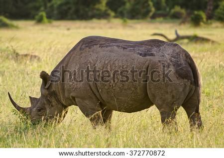 Black rhinoceros, Masai Mara, Kenya - stock photo