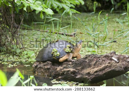 Black river turtle (Rhinoclemmys funerea), rests on a log in the river and has plants growing on its shell.  Also known as a black wood turtle.  This one looks like it is decorated with shamrocks. - stock photo