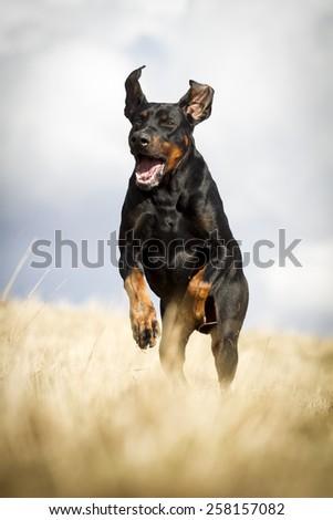 Black running dobermann - stock photo