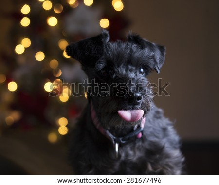 Black schnauzer getting Christmas picture and sticking tongue out at the camera   - stock photo