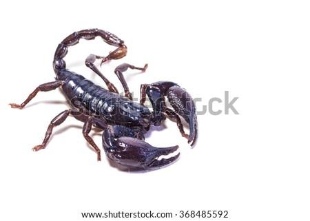 Black scorpion on white background - stock photo