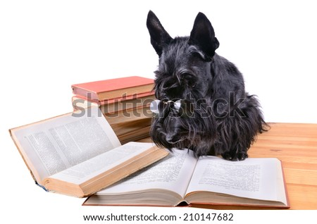 Black scotch terrier in glasses reads a books on a white background