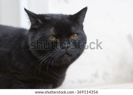 black scottish cat - stock photo