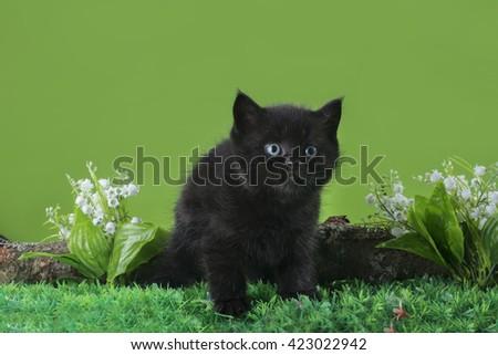 Black Scottish kitten playing on the spring grass - stock photo