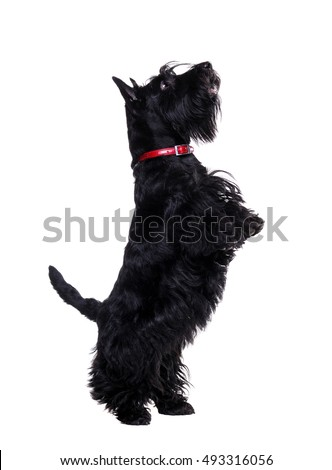 Black scottish terrier jumping on hind legs isolated on white