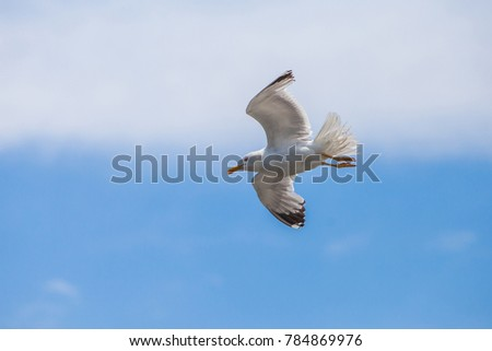 Black Sea seagull in flight against the blue sky with clouds.