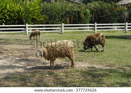 Black sheep and white sheep in a farm
